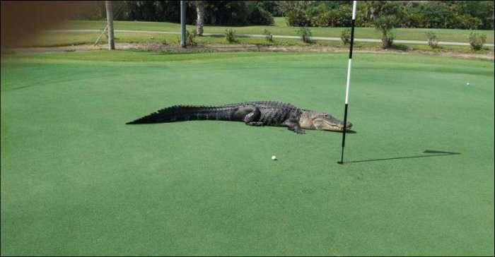 Небезпечний гість на поле для гольфу (3 фото)