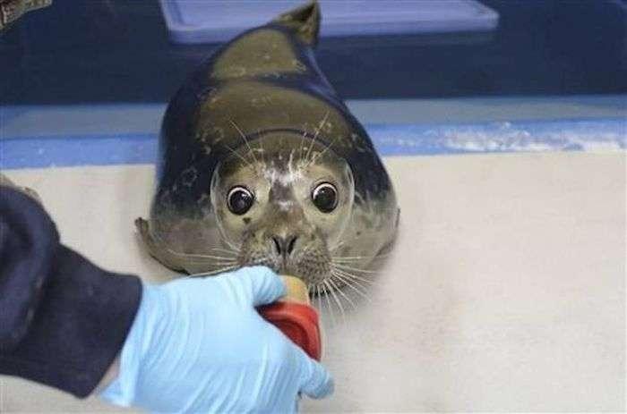 На Алясці врятували сліпого дитинча морського котика (4 фото)