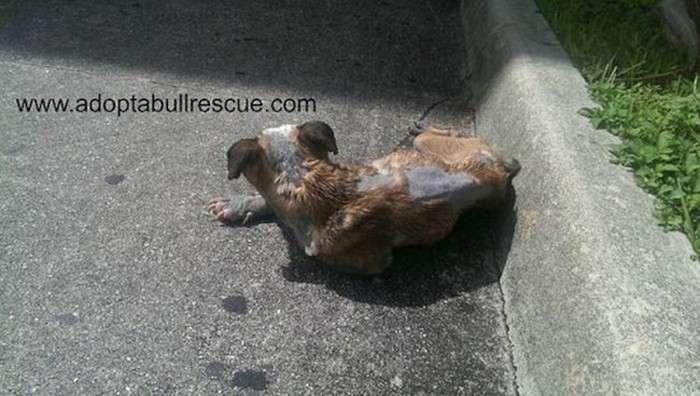 У Майамі врятували кинутого на вулиці хворого бульдога (7 фото)