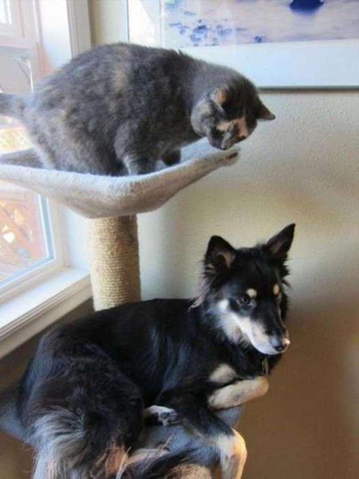 Собаки, які ведуть себе, як кішки (22 фото)