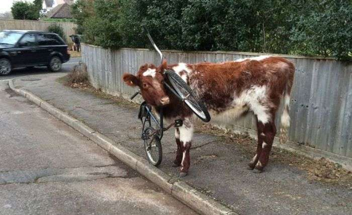 Корова ходила по вулиці з велосипедом на шиї (2 фото)