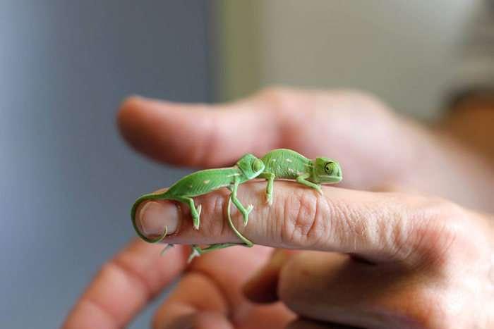 Новонароджені хамелеони із зоопарку Сіднея (11 фото)