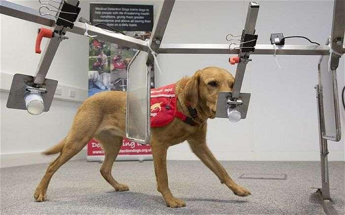 Собака, здатна діагностувати рак у людей, отримала медаль (6 фото)