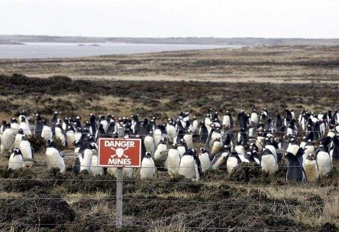 Як заміноване узбережжі Фолклендських островів стало домом для мільйони пінгвінів (4 фото)