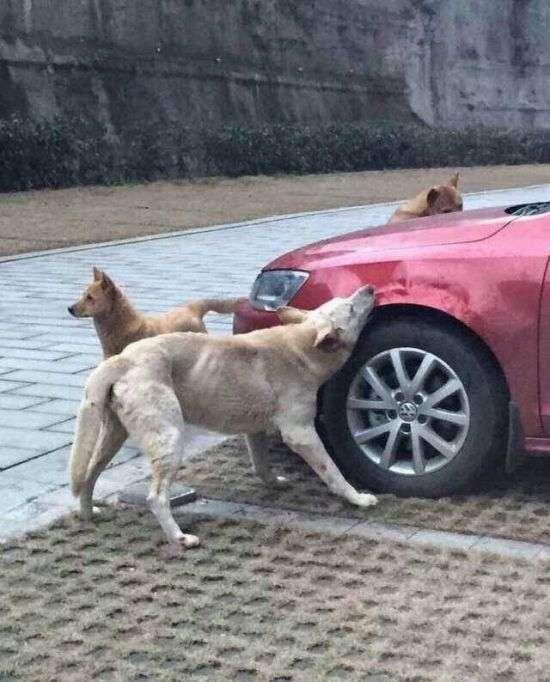 Бездомні собаки спробували на смак автомобіль (4 фото)