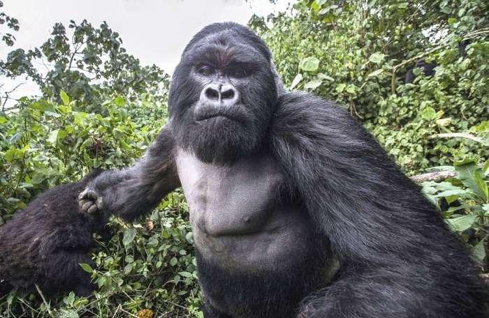 У момент зйомки горила атакувала фотографа (8 фото)
