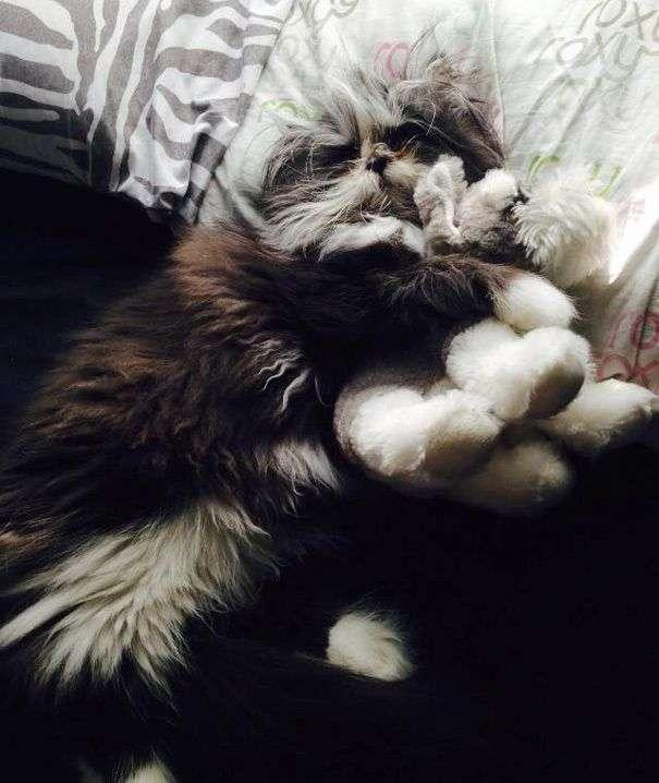 Кошеня, що страждає гипертрихозом (20 фото)