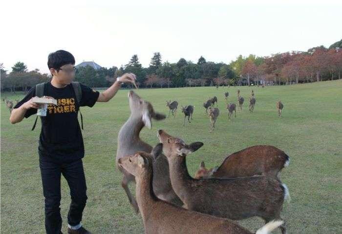 Як хлопець козуль годував (4 фото)