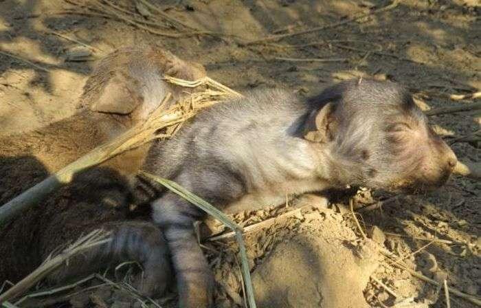 Потрапила в капкан гієна зуміла народити щенят (8 фото)