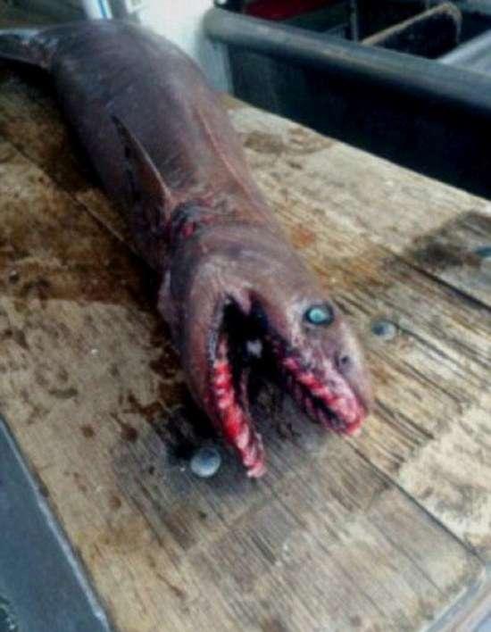 Австралійські рибалки виловили дуже рідкісну акулу (4 фото)