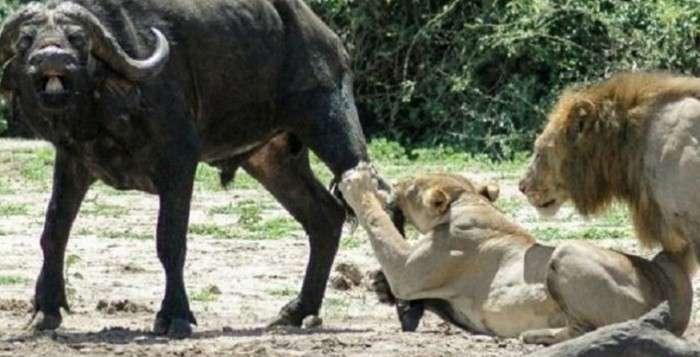 Лев, який завжди думає про продовження роду (3 фото)