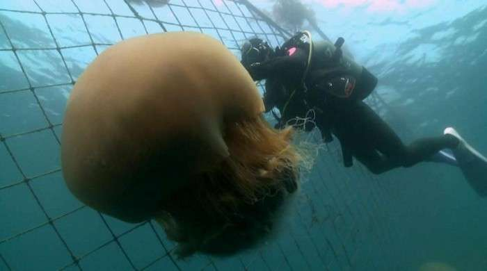 Правда про найбільшою медузи у світі (17 фото + відео)