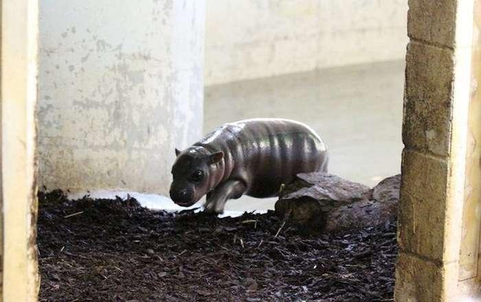 Знайомтеся, це новонароджений бегемотик (10 фото)