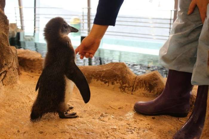 У Красноярську зростає пінгвін на прізвисько Чуді (12 фото + 2 відео)