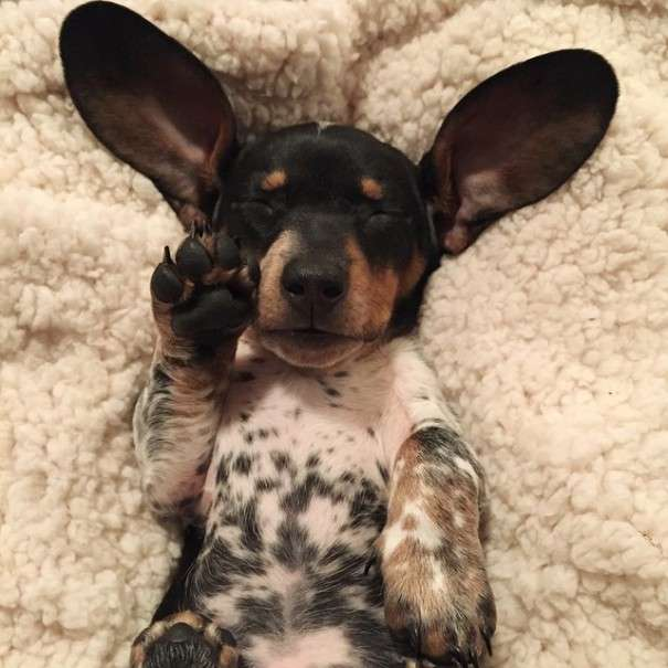 Чарівний щеня Різ народився в собачій сімї (15 фото)