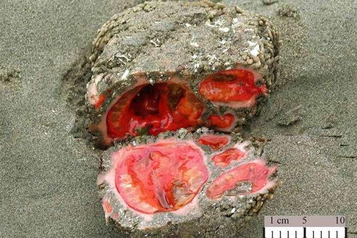 Pyura chilensis - «живий камінь» з морського дна (5 фото)