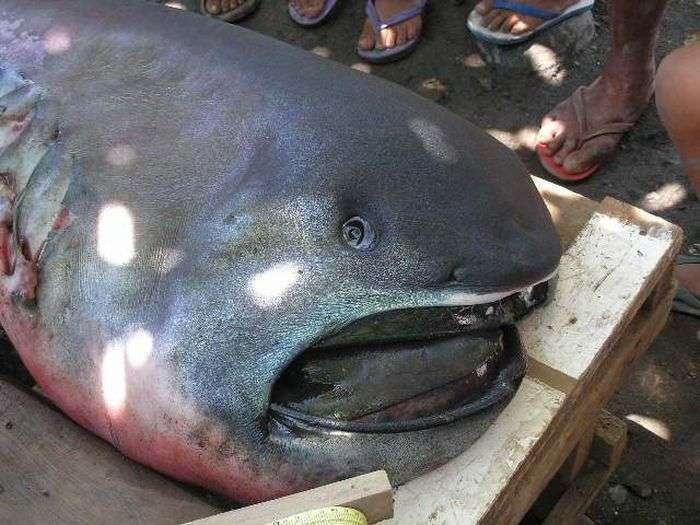 Філіппінські рибалки виловили рідкісну пелагическую большеротую акулу (4 фото)