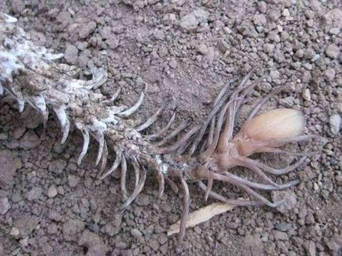 Ложнорогатая гадюка - одне із самих страшних істот на землі (5 фото)